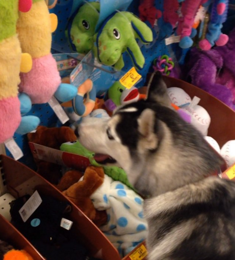 Siberian Husky in Toy Aisle