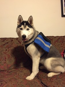 siberian_husky_dog_pack3