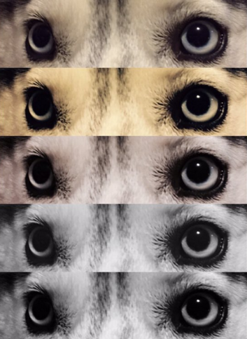 Siberian Husky Eyes Filters