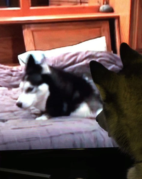 siberian husky watching youtube on television